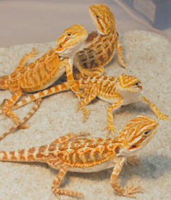 bearded dragons...i have got 2..they are amazing :D