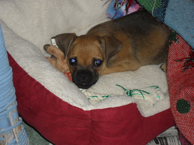 Yes, I do. My family got it just two days ago. She&#39;s a pug/jackson terrier welpe and her name is Lily. <3