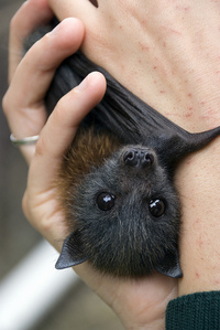 Someday, I&#39;ma have a baby vampire bat named Stoker. <3 Oh, but those aren&#39;t really your bats, are they? *glances at bottom left of photo* It&#39;d be cool if they were though.