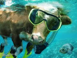I'd probably die of laughter is I ever saw a cow actually doing this XD