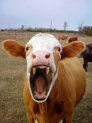 Vampire cow :D