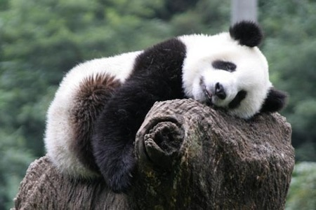 Pandas. They are adorable. I've always liked them. :D