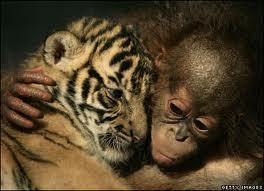 baby orangutan and baby tiger