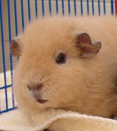 What should I call my guinea pig?