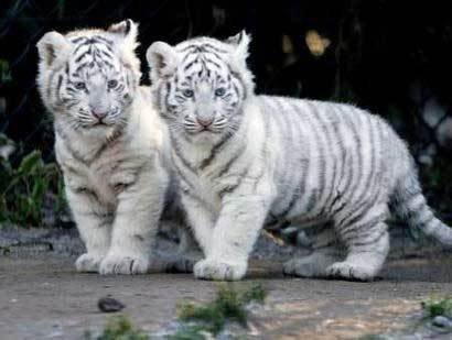 post pictures of cute tigres