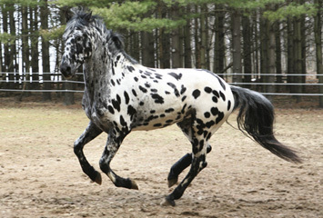 Appaloosa mixed with a Friesian.