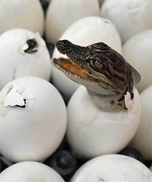 i <3 crocodiles
