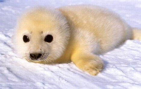 baby zeehond, seal