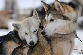 Husky! :D