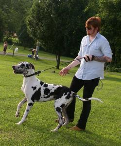 A Harlequin Great Dane.