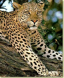 I प्यार tabby cats, panda bears, polar bears, Cardinals, blue jays, humming birds, horses, great danes, caviler king charles spaniels, snakes, lizards, froggies, Gerbils, and mice. But, my over all HUGE प्रिय animal is the leopard.