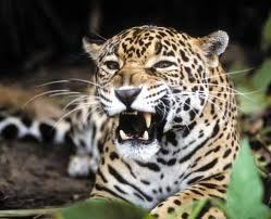 Jaguar Facts - Jaguars - Fanpop