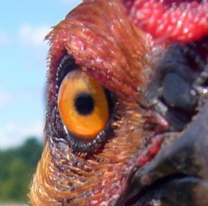 this is the evil chicken