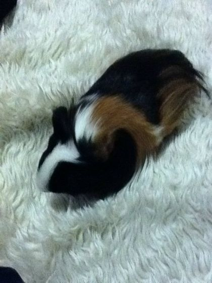 my guinea pig squek