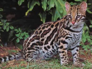 Ocelots are so cute!!