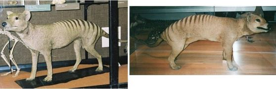 This is the only way you can see a thylacine now. They are no longer walking this earth. ):
