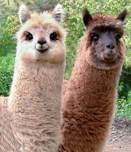Llamas R us