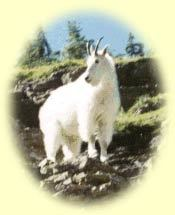 The Capricorn goat.