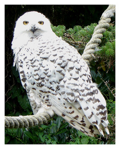 Hedwig <3 Why did she have to die? :'(