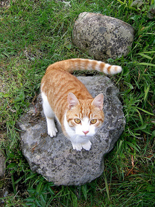 Name:Sandfire Clan:Grassclan Rank:Deputy Pelt:Ginger with white belly and legs and white tipped ta