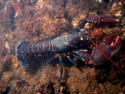 in Blowholes Revnge lobsters arnt red there only red when they are bolied and dr.blowhole's minons