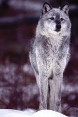 My name is Lexi and my wolf name is Echo.