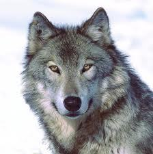 wolf name :cheza gender:female fur colour:blackish white eye colour:brown  power:i can block any atta