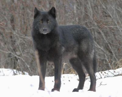 My name is christina and my wolfs name is Twilight I am female