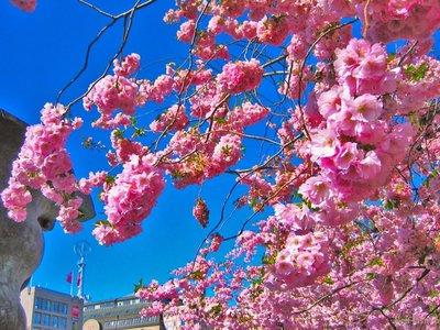 ♥cherry blossom♥