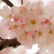 Japanese cereza, cerezo Blossom...