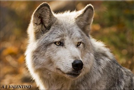 Star~ silver and gray wolf with hazel eyes. (female) Alpha.