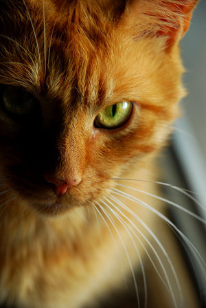 cat meows loud at night