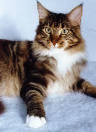 I have recently gotten a 4-year-old pure bred Maine Coon cat. We are trying to think of names for him