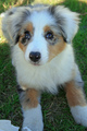 Australian shepard - puppies photo