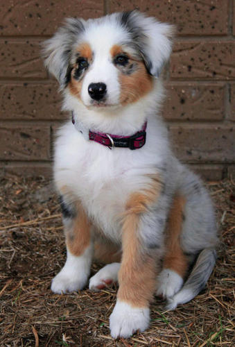 cachorrinhos wallpaper entitled Australian shepard