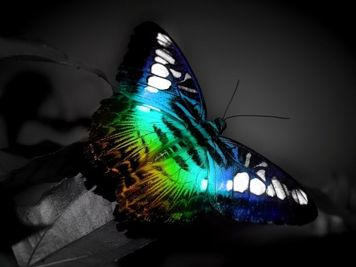 schmetterling