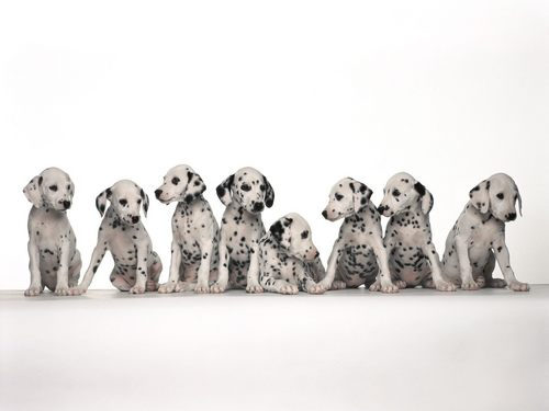 Dalmatians - puppies Wallpaper