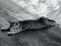 Flat cat XD