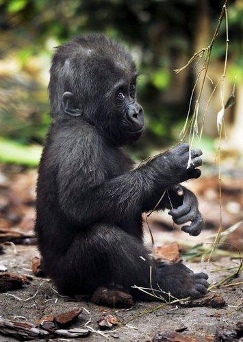 Monkeys wallpaper entitled Gorilla