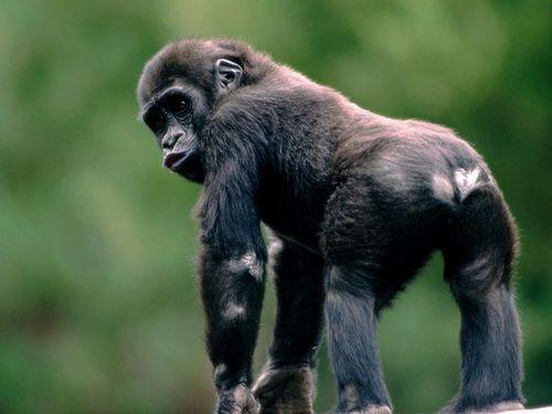 Monkeys wallpaper titled Gorilla