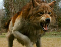 Jacob, wolf form - twilight-series photo