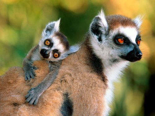 Monkeys wallpaper entitled Lemurs