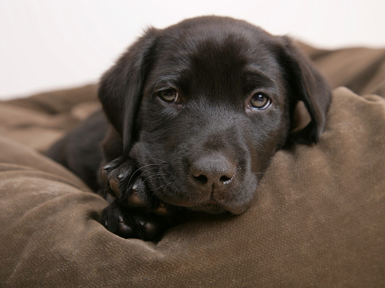 Little labrador  Puppies Wallpaper 14749010  Fanpop