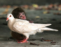 Little monkey with dove :) - monkeys photo