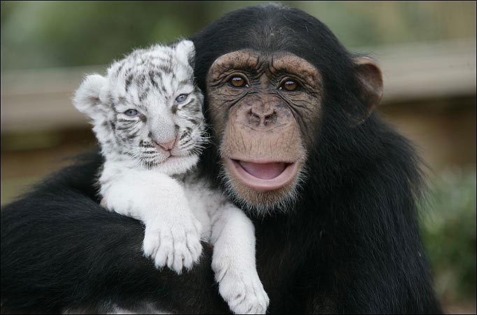 Monkeys images Monkey and litlle tiger. So cute :) wallpaper and ... Chimpanzee Jane