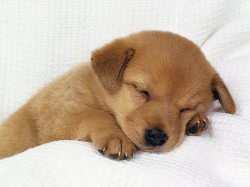Puppies wallpaper titled Sleeping dogy
