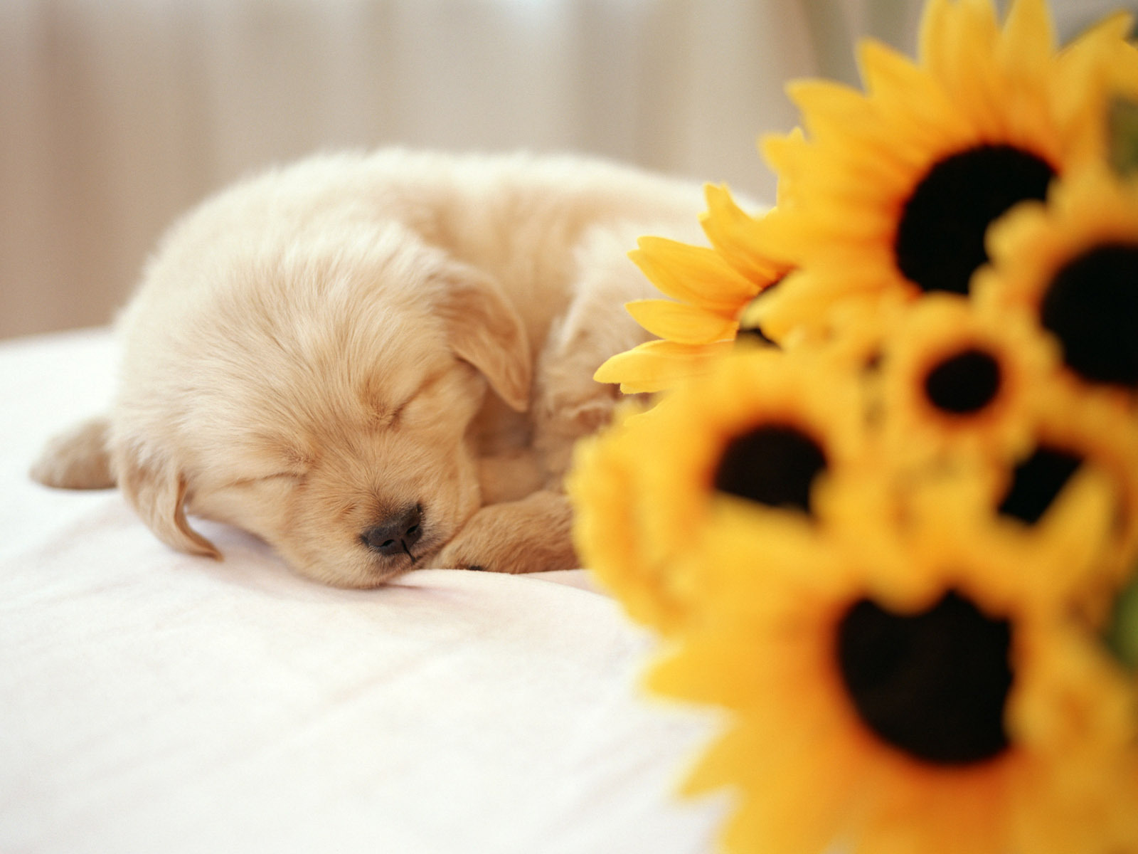 so cute puppies wallpaper 14749024 fanpop