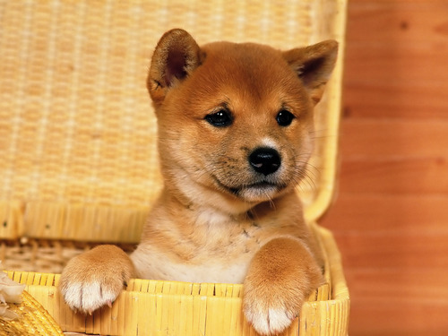 Puppies images So cute HD wallpaper and background photos