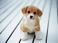 So cute - puppies wallpaper