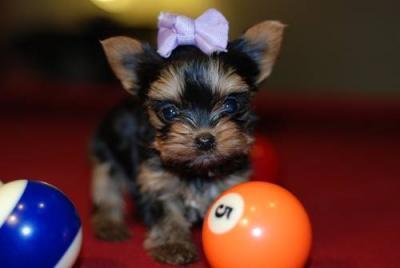 Morkie & Morkipoo – TLC Puppy Love